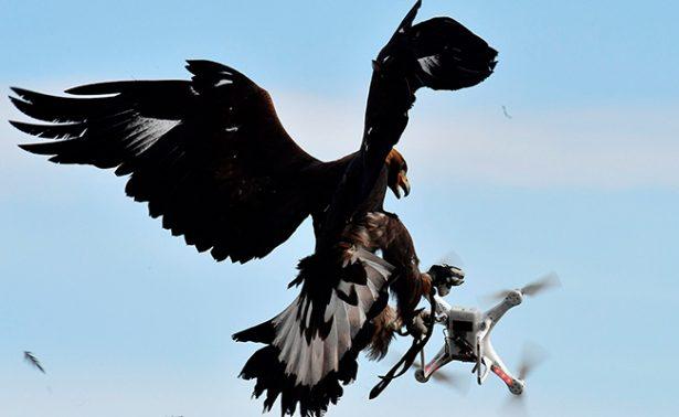 Águilas cazarán a drones amenazantes