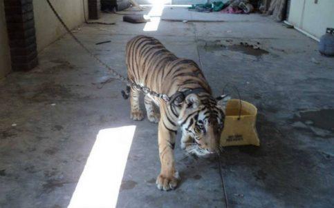 Profepa asegura tigre de Bangala en Valle de Mexicalli