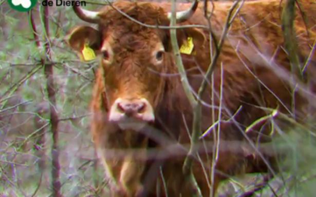 Una vaca que escapó del matadero se convierte en estrella en Holanda