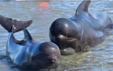 Masacre de ballenas en islas Feroe, una tradición que  defiende  el gobierno