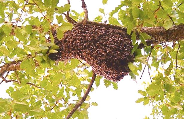 Alerta PC sobre las abejas africanizadas