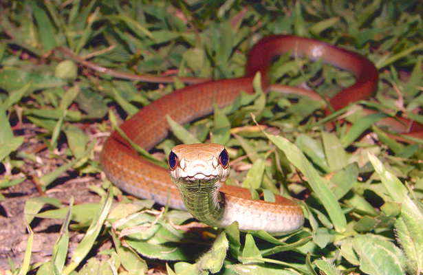 Aumentan casos de mordeduras  de serpientes