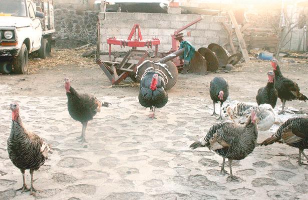 Aves de traspatio, apoyo económico