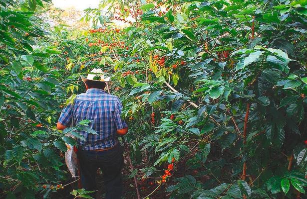 Cafetaleros afrontan naturaleza y precios