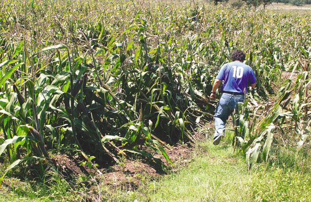 Espantapájaros ahuyentan a las aves en cultivos