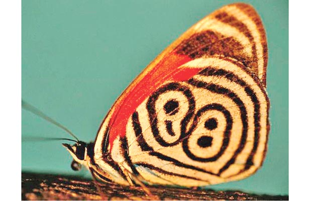 Mariposas, atractivo de la región cafetalera
