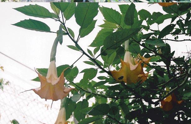Floripondio, una flor emblemática zona Tepehua