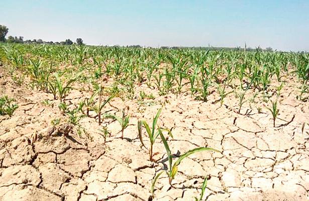 Cultivos de maíz y frijol casi resultan afectados por el retraso del temporal. / Foto: OEM