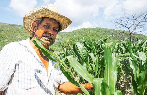 Más de 20 mil hectáreas de frijol y maíz a punto de perderse