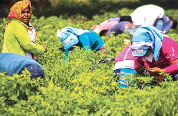 Alerta Secretaría del Trabajo sobre falsos reclutadores de jornaleros agrícolas