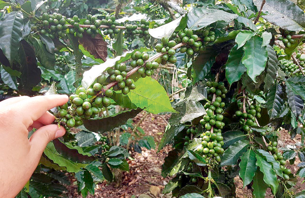 Cafetales, susceptibles a insectos y hongos