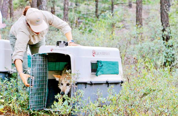 Reintegró la CONANP a siete lobos mexicanos a la vida libre