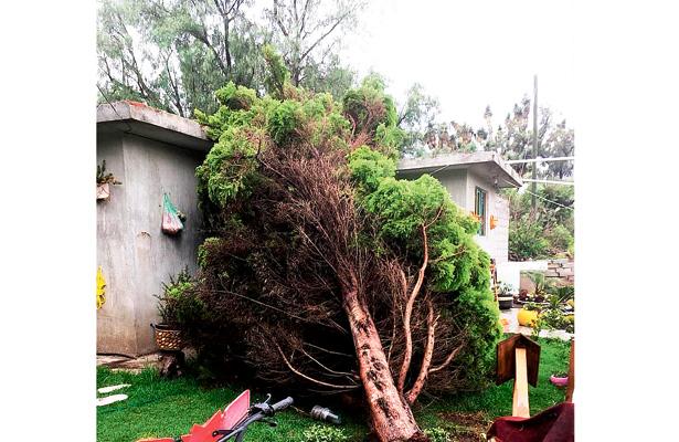 Cae árbol en humilde casa en El Paraíso