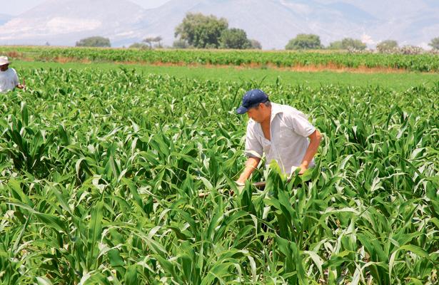 Un buen año en la producción de maíz: SAGARPA