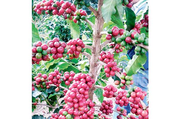 Cosecha del café genera empleos