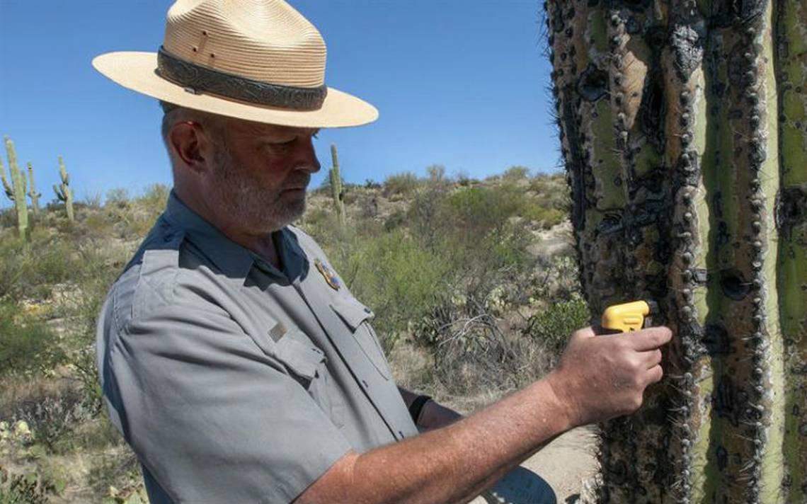 Instalan microchips a gigantescos cactus de Arizona para vigilar que no los roben