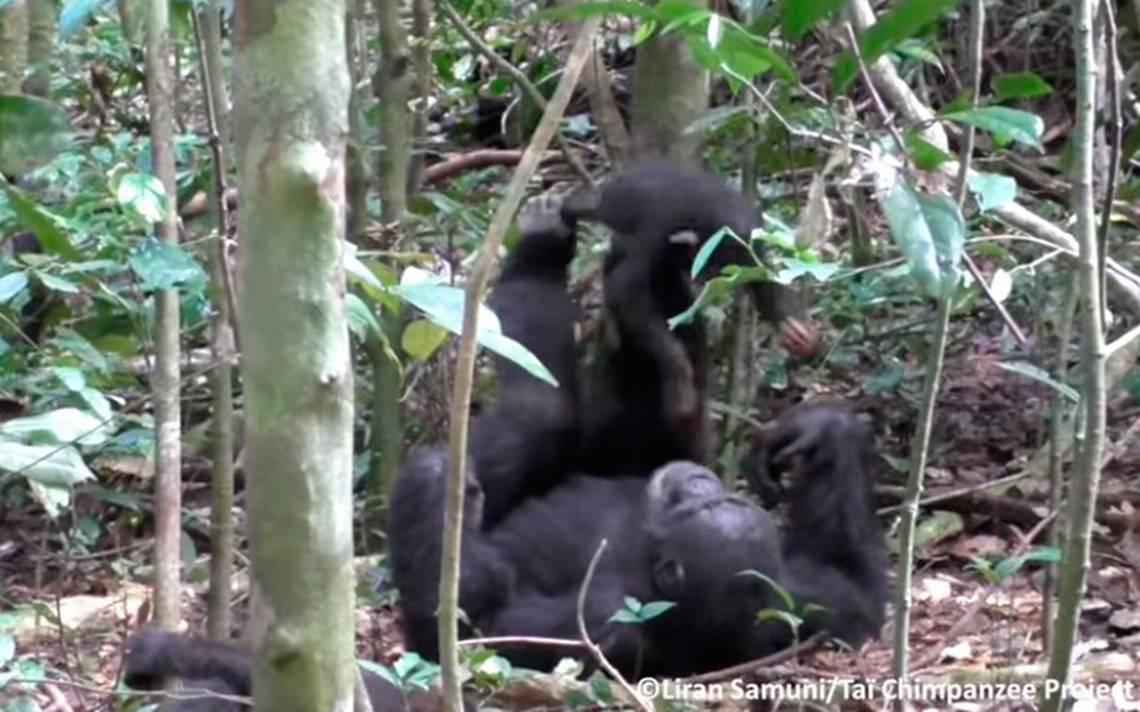 """[Video] Madre chimpancé juega con su cría """"al avioncito"""" y ¡las redes mueren de ternura!"""