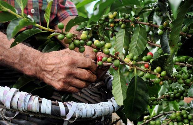 """Alcanza café """"robusta"""" precio histórico ante alza del dólar"""