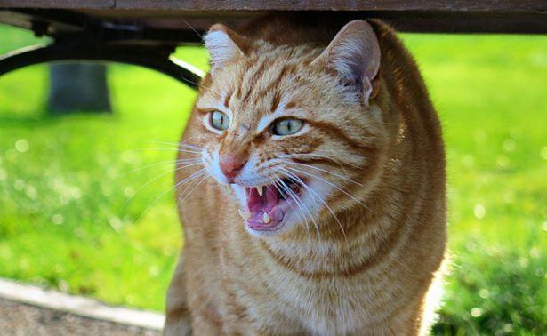 ¿Por qué mi gato se enoja de todo? aprende a diferenciar sus trastornos