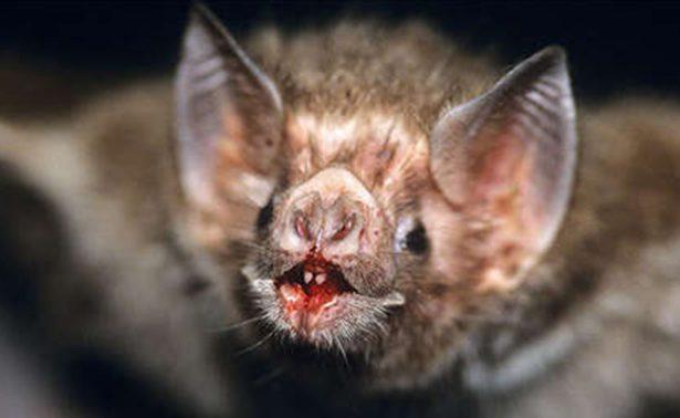 """¡Murciélagos vampiros crean """"redes sociales"""" para sobrevivir!"""
