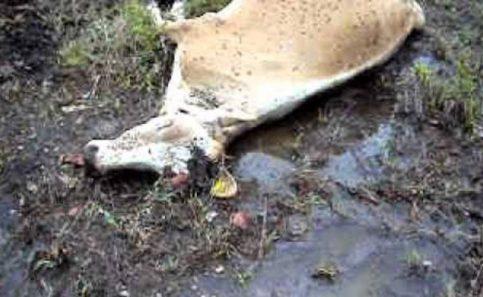 Veneno mata más de 20 vacas en Sinaloa