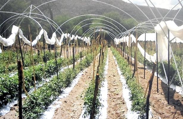 Granizada afectó 230 hectáreas en el sur