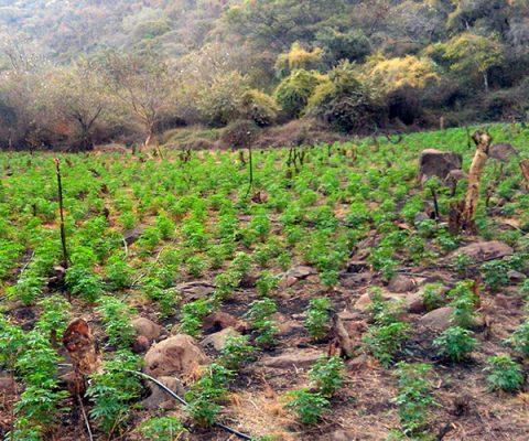 La marihuana… ¿debe legalizarse? I/II