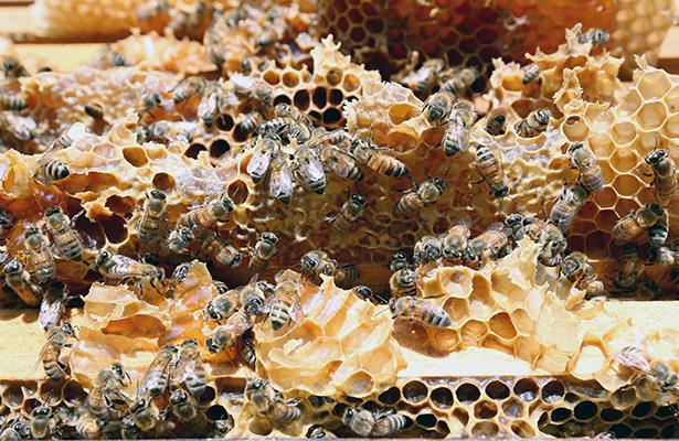 Buscan apicultores mejorar producción