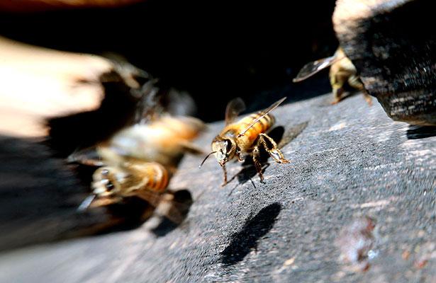 Hombre sufre más de 150 picaduras de abeja