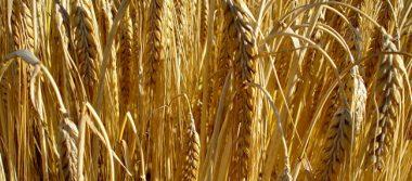 Grupo Modelo invierte 15 mdp en investigación de cebada