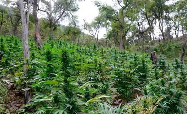 Localizan y destruyen 16 mil plantas de marihuana en Mezquital del Oro
