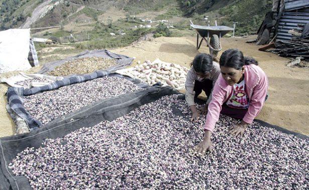Mala comercialización de frijol zacatecano provocaría desplome de precio