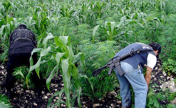 Destruyen más de mil plantas de marihuana en García de la Cadena