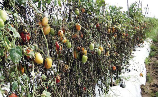 Heladas afectan a productores del sur de Zacatecas