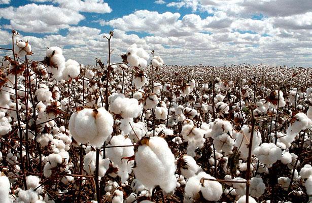 Cambio climático afecta cultivo de algodón