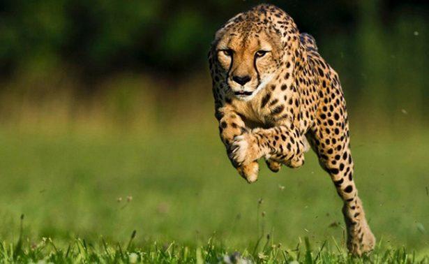 Según estudio, el guepardo corre directo hacia su extinción