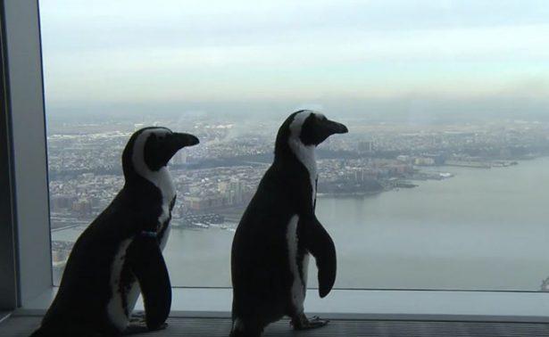 Pingüinos disfrutan de una gran vista desde edificio de Nueva York