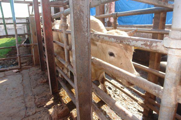 Realizan exhaustiva revisión al ganado