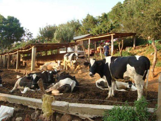 Más ganaderos de la región producen leche y carne
