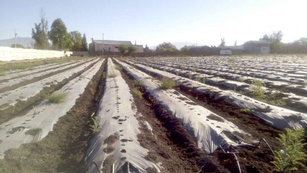 Plagas afectan produccion de fresa