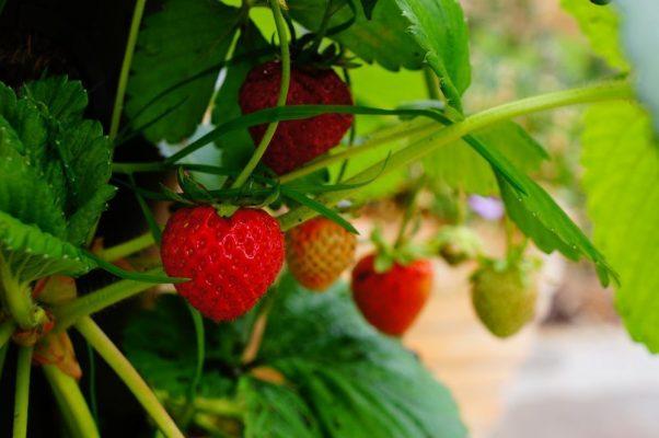 Afectada, producción de fresa por plagas