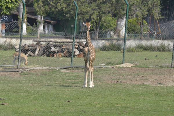 Ponle nombre a la jirafa del zoológico