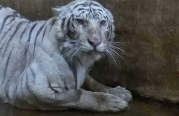 Responde a tratamiento médico la tigresa Shakira en Tabasco
