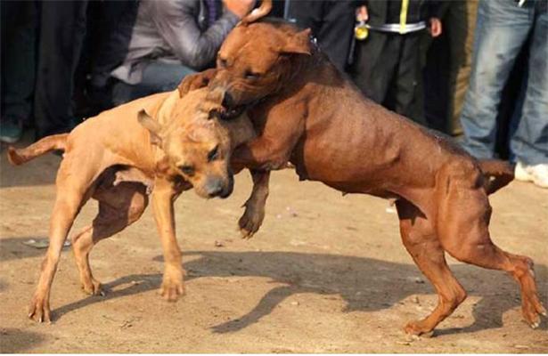Prohibidas las peleas de perros