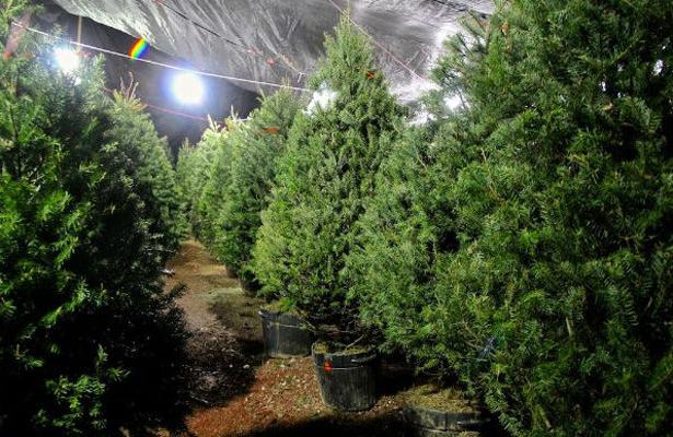PVEM llama a consumir la producción local de Árboles de Navidad