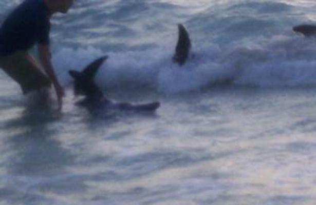 Conanp atendió varamiento de delfines en Cancún