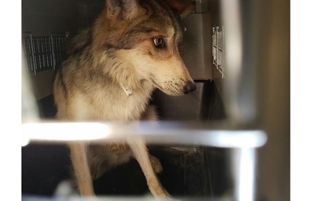 Profepa reintegra de 11 lobos grises, en Chihuahua