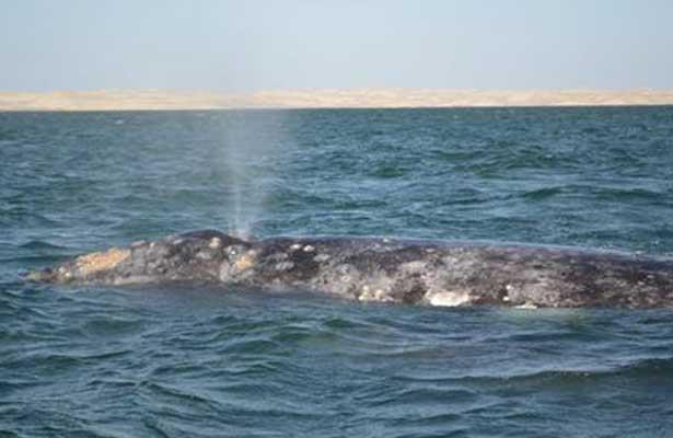 Inicia temporada de avistamiento de ballena gris en BCS