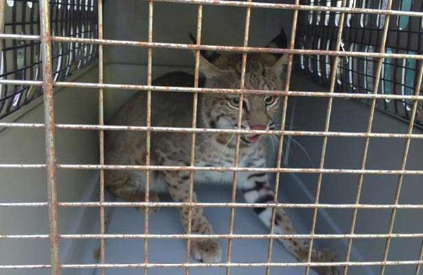 Profepa regresa a su hábitat tres ejemplares de Gato montés en Tamaulipas