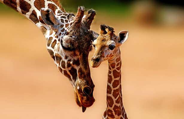 Las jirafas se convierten en especies en peligro de extinción
